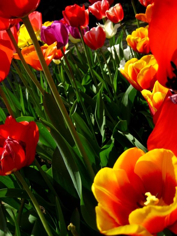 tulipinhas-1